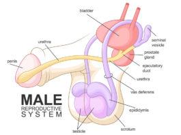 erkek üreme sistemi